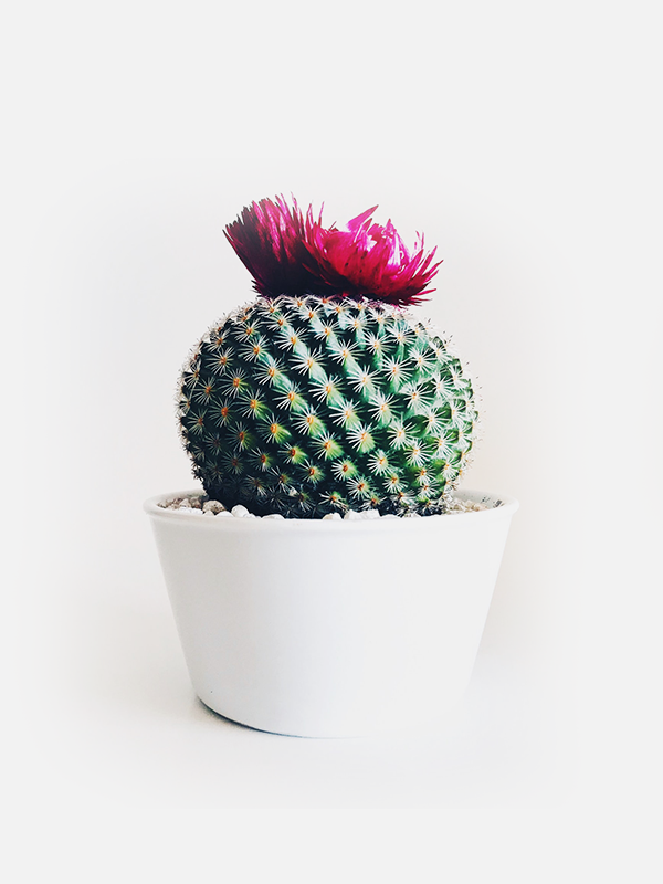 Cactus gordito